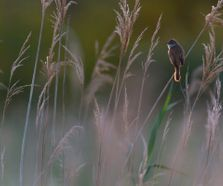 greatreedwarbler1306071_small