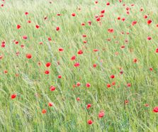 poppies1606051_small