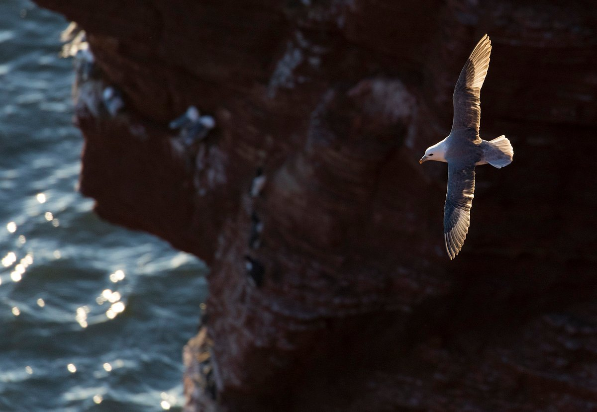 northernfulmar1904285_2_small