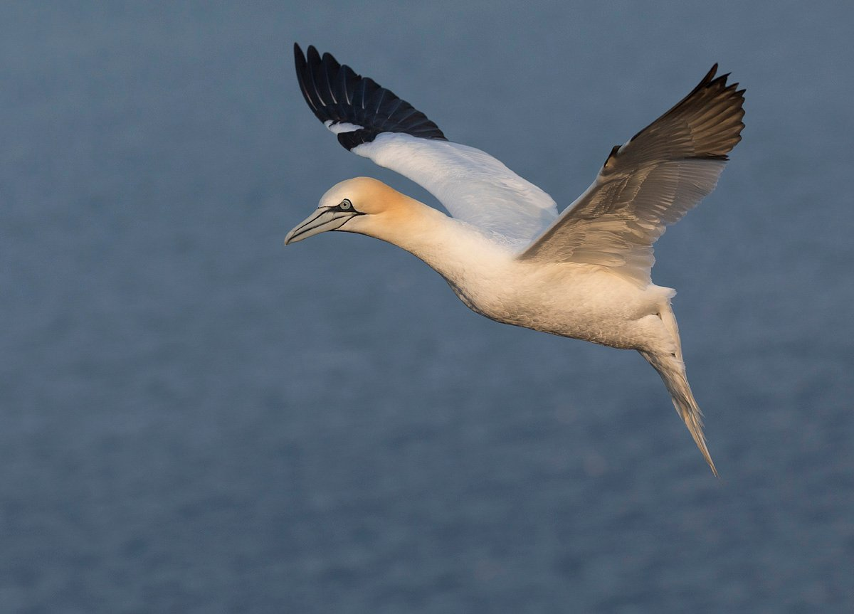 northerngannet19042711_2_small