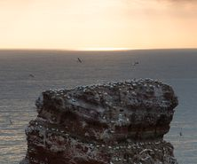 northerngannet19042714_2_small