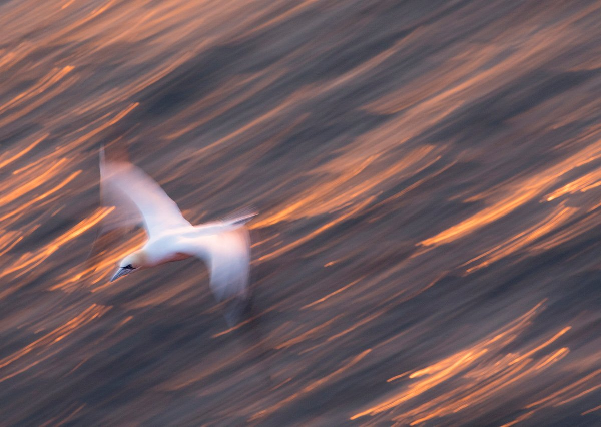 northerngannet19042719_2_small