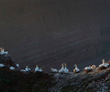 northerngannet1904271_2_small