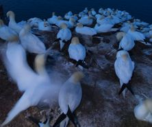 northerngannet1904273_2_small