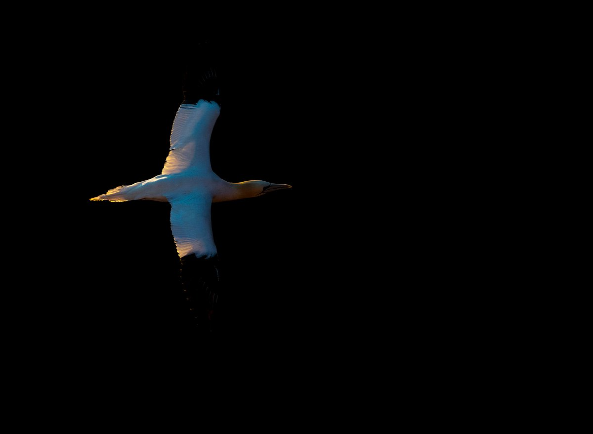 northerngannet1904284_2_small