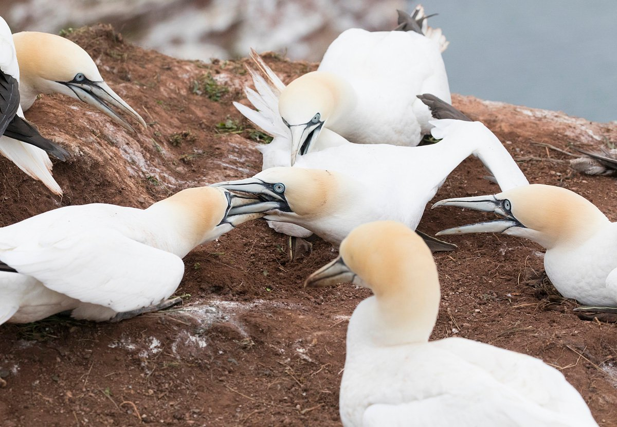 northerngannet19042912_2_small