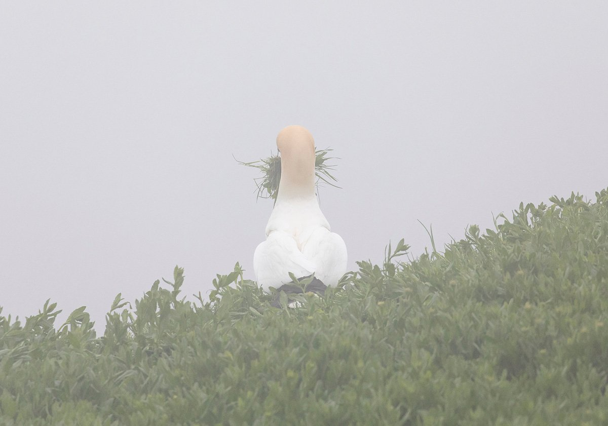 northerngannet19042917_2_small