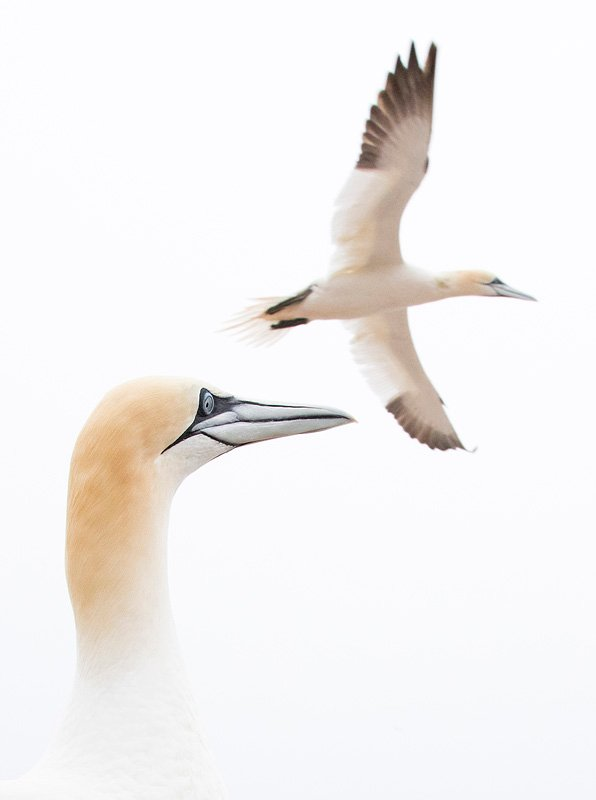 northerngannet1904292_2_small